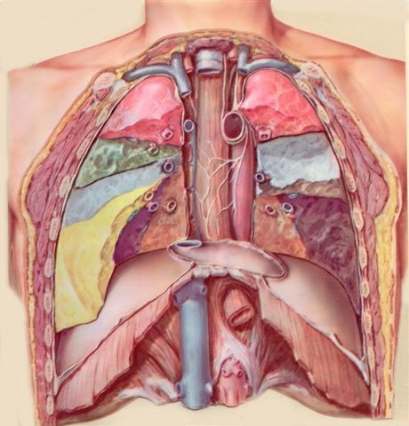Anatomy of thoracic cavity